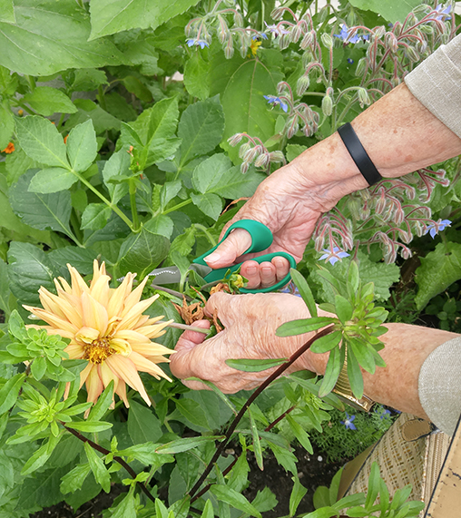 hands among dahlias, cutting them