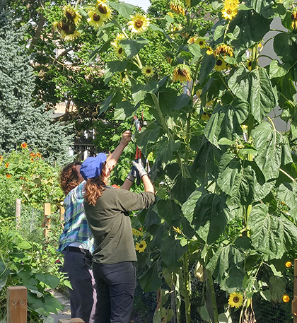 Two women stand on a bridge harvesting sunflowers